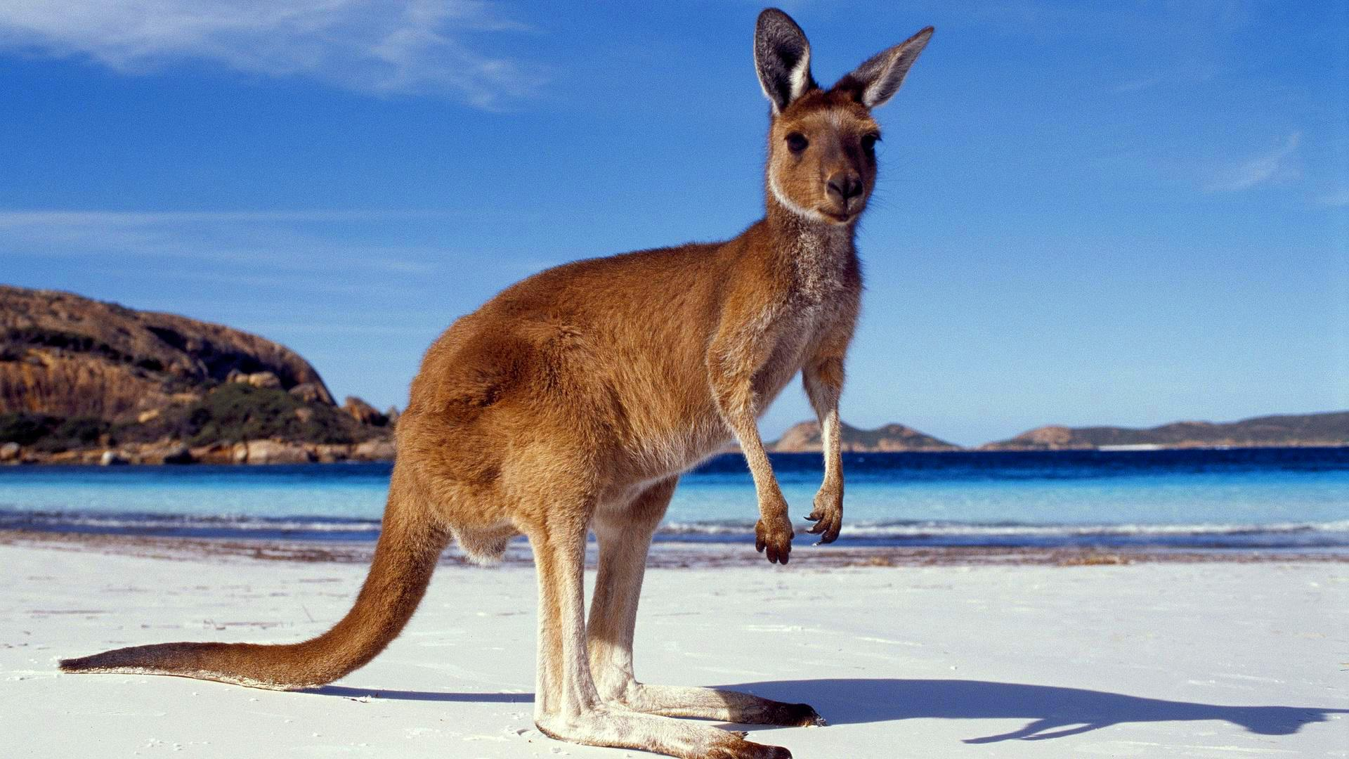Kangaroo wallpapers high quality download free - Image kangourou ...