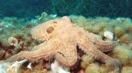 Octopus Wallpaper Free