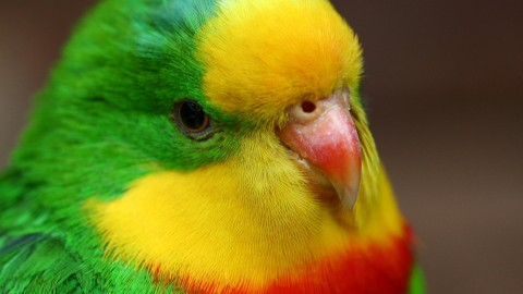 Parrots wallpapers high quality