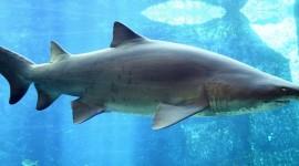 Sharks Desktop Background