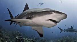 Sharks Wallpaper For Desktop