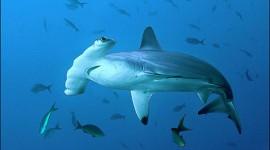 Sharks Wallpaper For PC