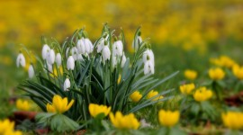 Snowdrops Best Wallpaper