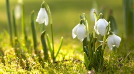 Snowdrops Desktop Background
