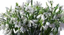 Snowdrops Picture