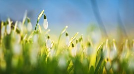 Snowdrops Wallpaper Background
