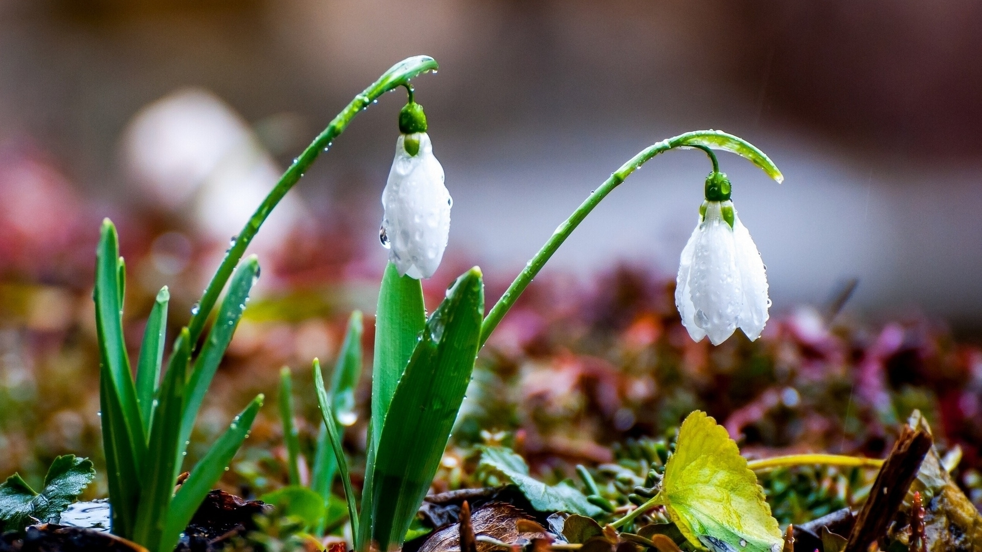 snowdrops wallpapers high quality download free