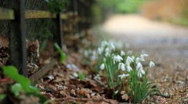 Snowdrops Wallpaper Free