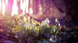Snowdrops Wallpaper Gallery