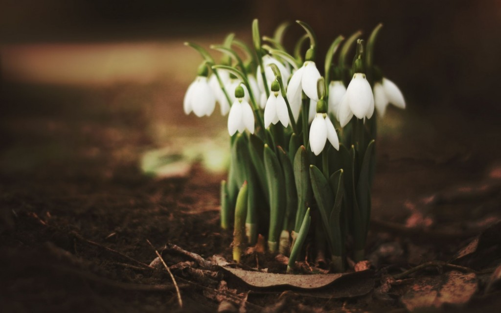 Snowdrops wallpapers HD