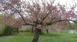 The Cherry Tree Image