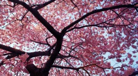 The Cherry Tree Image Download