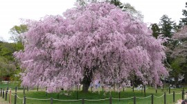 The Cherry Tree Photo