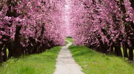 The Cherry Tree Photo Download