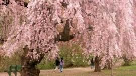 The Cherry Tree Wallpaper Download Free