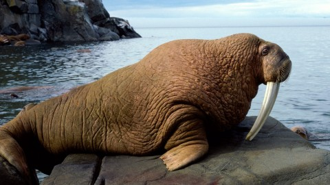 Walrus wallpapers high quality