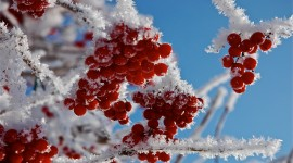 4K Berries in Frost Photo