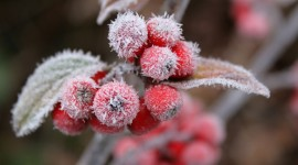 4K Berries in Frost Photo Free