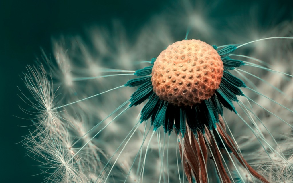 4K Dandelions wallpapers HD