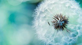 4K Dandelions Wallpaper For Desktop