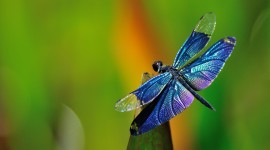 4K Dragonflies Wallpaper For Desktop