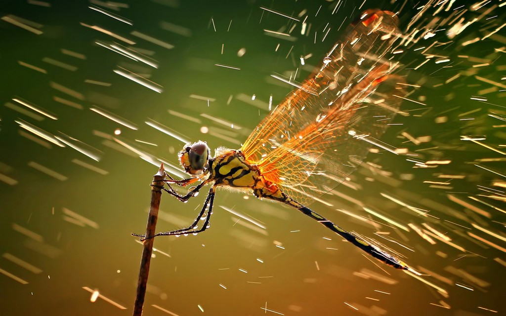 4K Dragonflies wallpapers HD