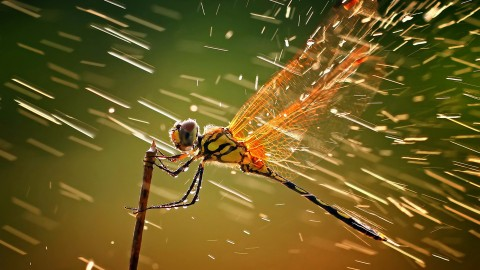 4K Dragonflies wallpapers high quality