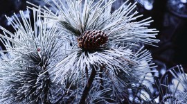 4K Fir Cones Photo Download