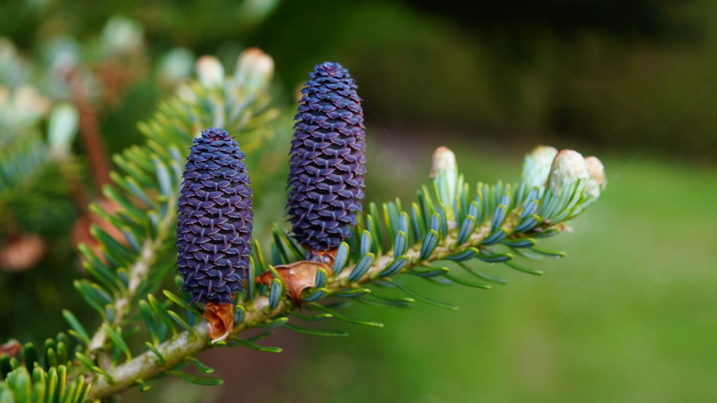 4K Fir Cones wallpapers HD