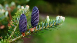 4K Fir Cones Photo Free