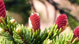 4K Fir Cones Wallpaper For Android
