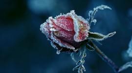 4K Flowers in the Frost Wallpaper Free