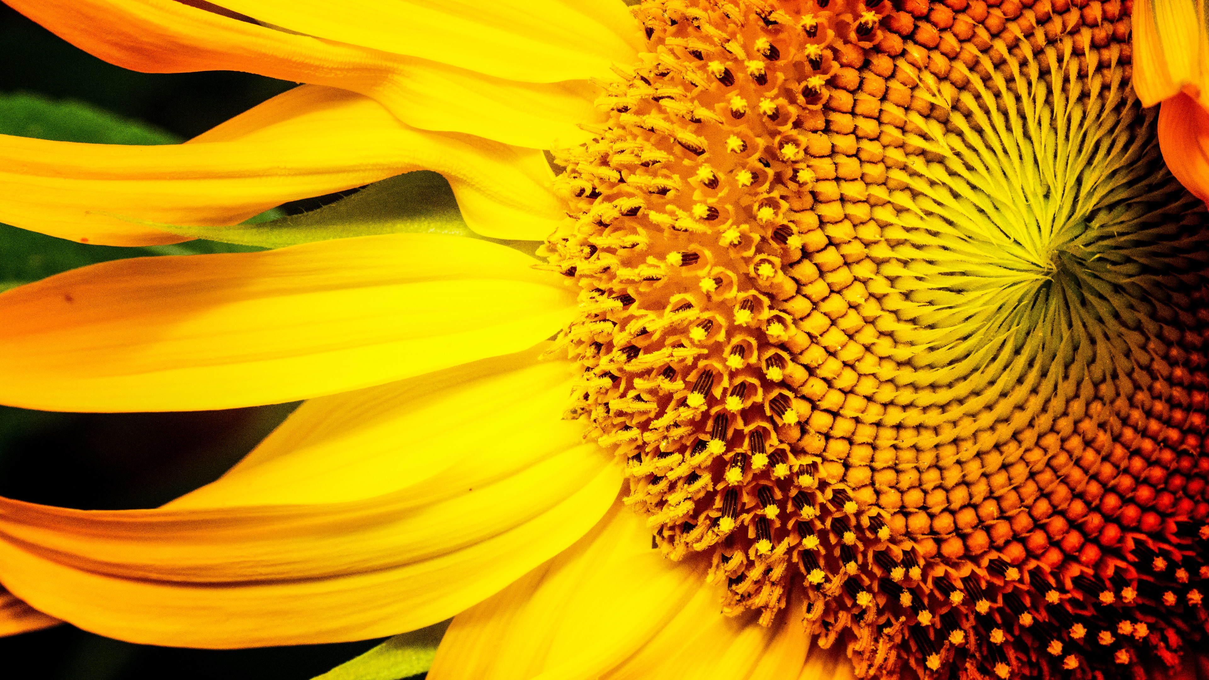 4k sunflowers wallpapers high quality | download free