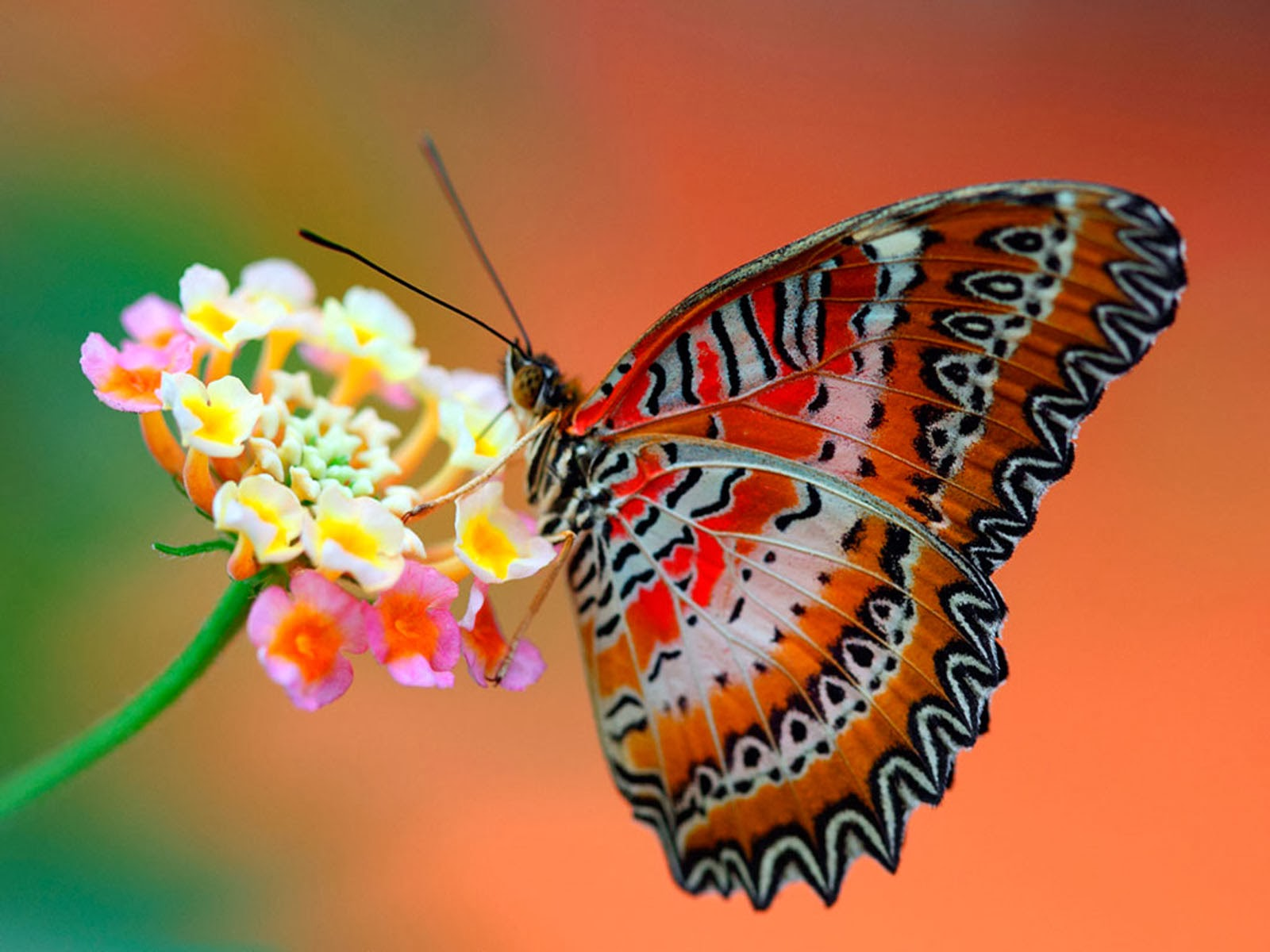 butterfly wallpaper high - photo #9