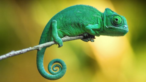 Chameleons wallpapers high quality