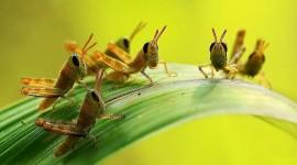 Grasshoppers Best Wallpaper
