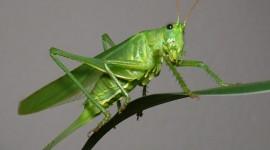 Grasshoppers Desktop Wallpaper