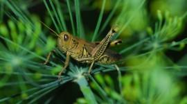 Grasshoppers Desktop Wallpaper For PC
