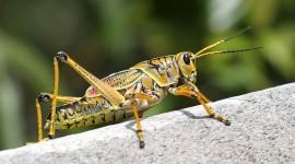 Grasshoppers Desktop Wallpaper Free