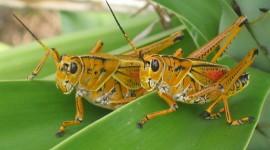 Grasshoppers Desktop Wallpaper HD