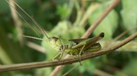 Grasshoppers Photo