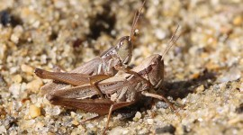 Grasshoppers Photo Download
