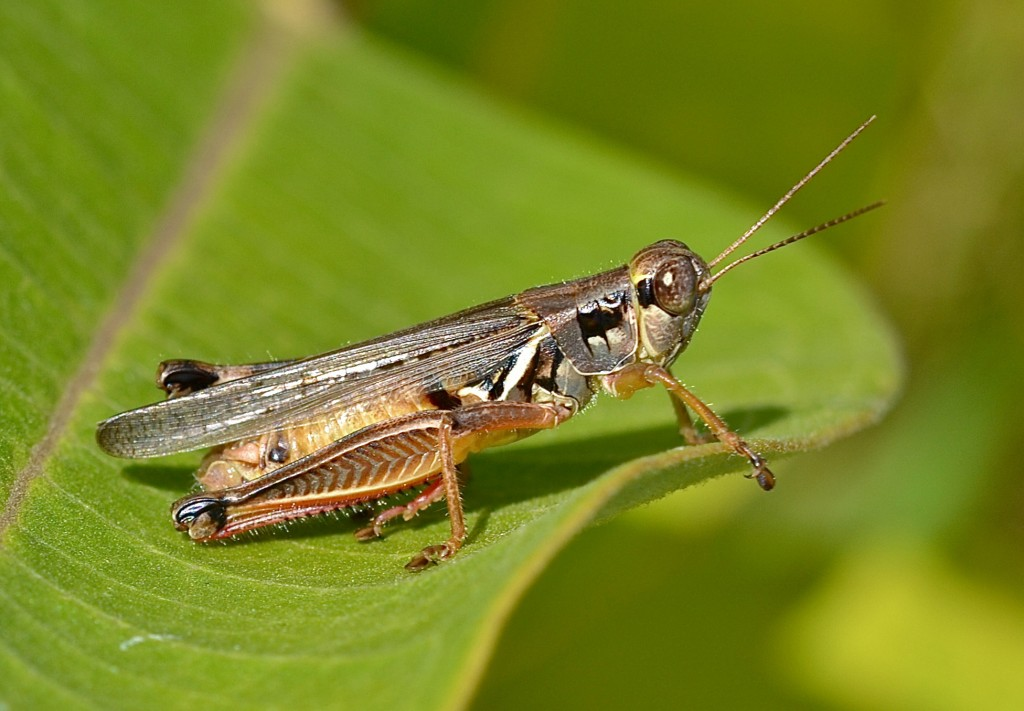 Grasshoppers wallpapers HD