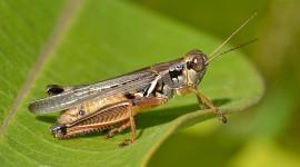 Grasshoppers Wallpaper