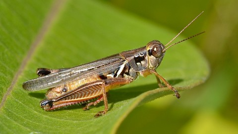Grasshoppers wallpapers high quality