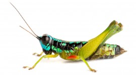 Grasshoppers Wallpaper Download