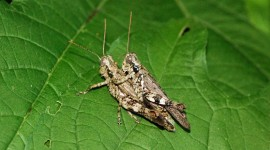 Grasshoppers Wallpaper Free