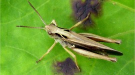 Grasshoppers Wallpaper Gallery