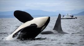 Killer Whales Best Wallpaper