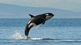 Killer Whales Desktop Wallpaper HD